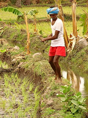 Rice farmer near Hampi Village, India. July 2008.