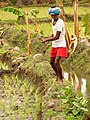 Rice Farmer Near Hampi Village - India.JPG