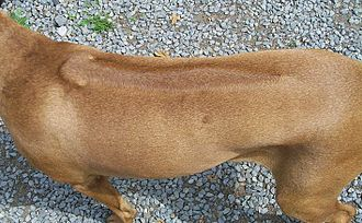 "Pedigree Dogs Exposed - The ridge on the Rhodesian Ridgeback is a distinct characteristic of the breed. The Ridgeback Club's code of ethics states that ""ridgeless puppies shall be culled""."