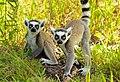 Ring tailed lemurs at LCF.jpg