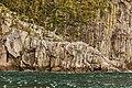 Rissa tridactyla, Bahía de la Resurección, Seward, Alaska, Estados Unidos, 2017-08-21, DD 26.jpg