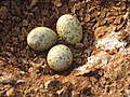 River tern-Nest 07 - Koyna 042011.JPG