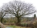 Roadside tree - geograph.org.uk - 1769820.jpg