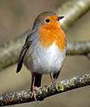 Robin (6952723317).jpg