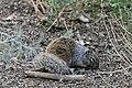 Rock Squirrel - Flickr - GregTheBusker (2).jpg