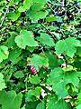 Rocky Mountain Maple (15063963730).jpg