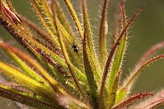 Gland (botany) - Roridula gorgonias showing glandular tentacles that secrete a resin that traps insects. Photo: Tony Rebelo.