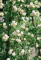 Rosa 'Alister Stella Gray'.jpg
