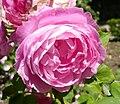Rosa 'La Reine Victoria' 2.jpg