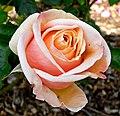 Rosa Buttercup 1.jpg