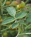 Rosa rubiginosa leaf (04).jpg