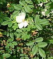 Rosa spinosissima inflorescence (85).jpg