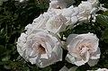 Rosarium Baden Rosa 'Aspirin-Rose' Tantau 1997 02.jpg