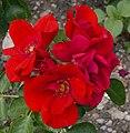 Rosarium Baden Rosa 'Cassandra' Noack 1998.jpg