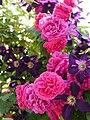 Rose,Tess of the d'Urbervilles,バラ,テス オブ ザ ダーバーヴィルズ, (9391432817).jpg