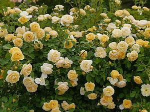 Rose, Graham Thomas, バラ, グラハム トーマス, (12552870863).jpg