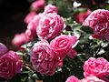 Rose, Leonard da Vinci, バラ, レオナルドダビンチ, (8873036704).jpg