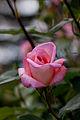 Rose, Michele Meilland - Flickr - nekonomania (1).jpg