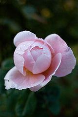 Rose, St. Cecilia - Flickr - nekonomania (2).jpg