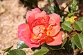 Rose Angele Pernet 20070601.jpg