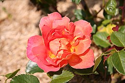 Rose Angele Pernet 20070601