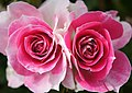 Rose Twins of Regensberg バラ 双子のレーゲンスベルグ (7226139148).jpg