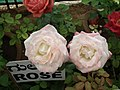 Rose from Lalbagh flower show Aug 2013 8508.JPG
