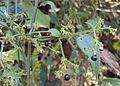 Rubia Cordifolia 04.JPG