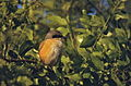 Rufous-backed Shrike (Lanius schach) (20903489725).jpg