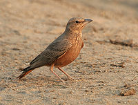 Rufous-tailed Lark (Ammomanes phoenicurus) in Kawal WS, AP W IMG 2004