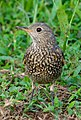 Rufous-tailed Rock Thrush Monticola saxatilis - 1st winter male - Front (cropped).jpg