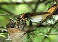 Rufous Fantail feeding Brush Cuckoo, Bunyip State Park.jpg