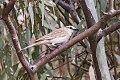 Rufous Songlark (Megalurus mathewsi) (8079703598).jpg