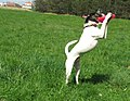 Russell terrier frisbee 8326v.jpg
