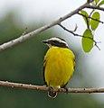 Rusty-margined Flycatcher (Myiozetetes cayanensis) (28885138895).jpg
