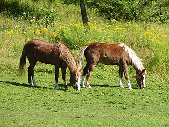 Sable Island horse - Sable Island Horses at the Shubenacadie Wildlife Park