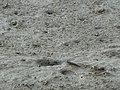 Saga Kashima mudflat Crabs and Gobioideis 02.JPG