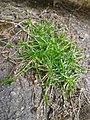 Sagina procumbens plant (06).jpg