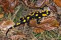Salamandra salamandra Unterlamm 01.jpg