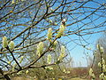 Salix caprea 010.jpg