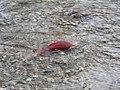 Salmon run at Adams River 2010 (5074072729).jpg