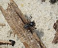 Salticidae, male of Habronattus species - Flickr - gailhampshire.jpg