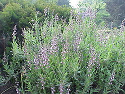 Ryytisalvia (Salvia officinalis)