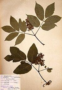 Sambucus racemosa BW-1966-0526-0932.jpg