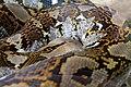 Sanca kembang Malayopython reticulatus Bandung Zoo 3.jpg