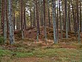 Sand dune in Carse Wood - geograph.org.uk - 268522.jpg
