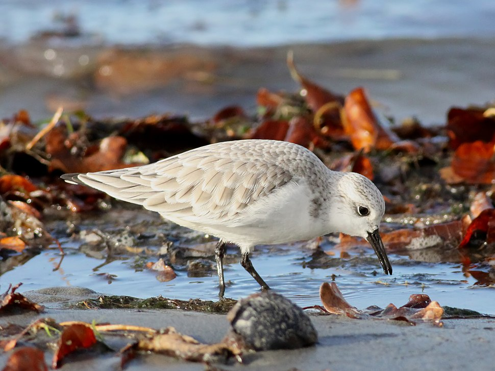 Sanderling (Calidris alba) (6)