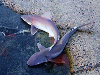 Sand Sharks at Bethany Beach, Delaware. The De...