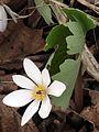 Sanguinaria canadensis 0983.jpg