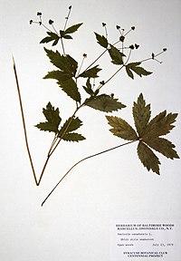 Sanicula canadensis var. canadensis BW-1976-0723-0719.jpg